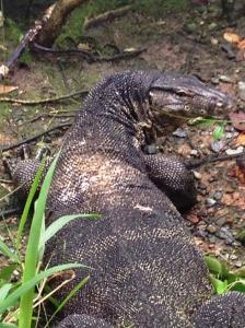 monitor lizard 1